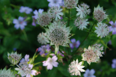Close up Astrantia en Campanula