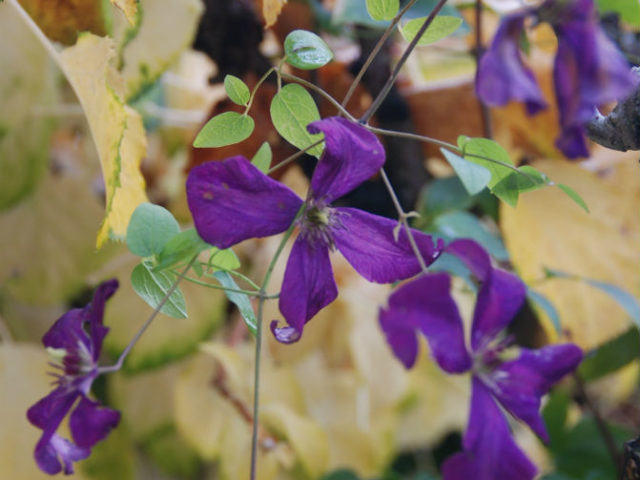 Paarse clematis