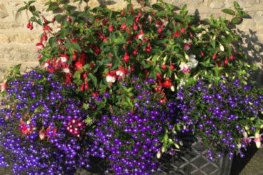 Plantenbak met fuchsia en lobelia