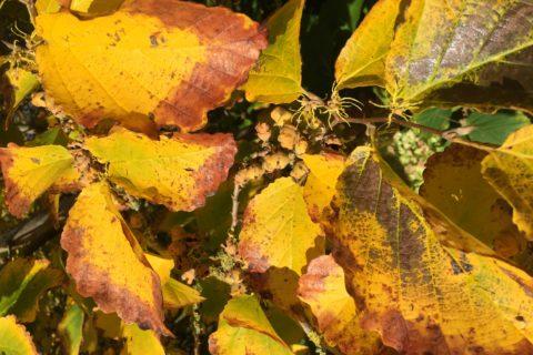 Herfstbladen hazelaar